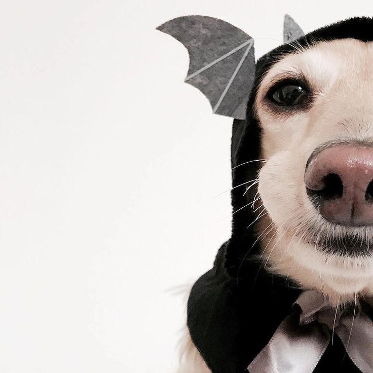 Bat girl Sammy  #miniaturedachshund .@sammy_diary  . コウモリになったサミー嬢こんなのあんまりよってちょっとご不満頬がぷくりになっちゃった  #regram#わんこ#halloweendog#costumedog#かわいい . 記事に登場してくれるワンコを募集#inulog をつけて投稿してね 美犬写真は#wooftodayFOLLOW @inulog.jp