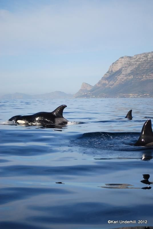 Orca's in False bay, off Simonstown, South Africa. BelAfrique - Your Personal…