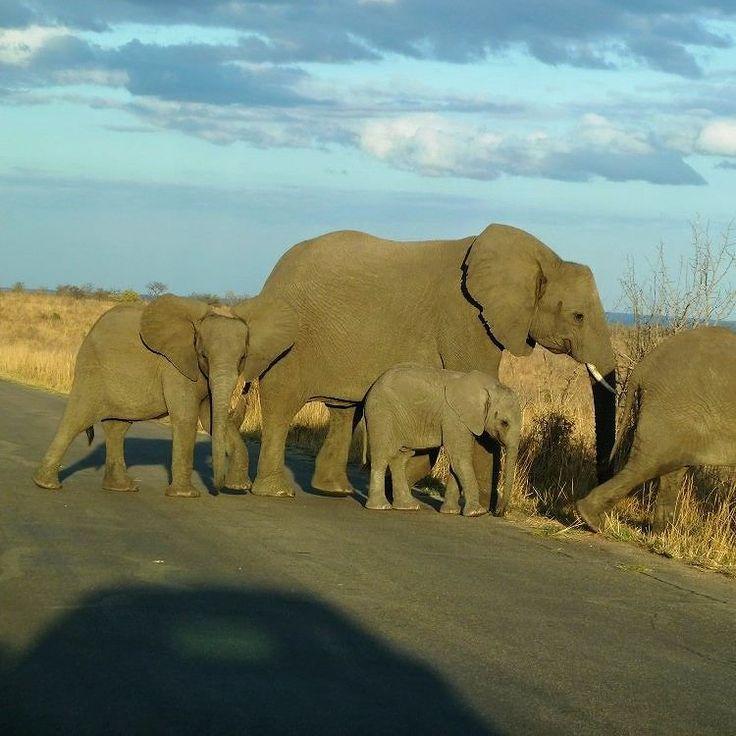 Elephant crossing in kruger national park  Unsere Tipps für Wildlife Safaris auf eigene Faust in Südafrika findest du auf travelinspired.de!  #elephant #elefanten #southafrica #südafrika #safari #krugernationalpark #krügernationalpark #gamedrive #travelafrica