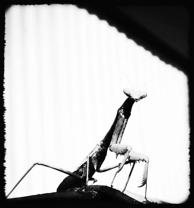 "5 Likes, 1 Comments - Stacey Smith (@hmss40) on Instagram: ""#bug #cutebug #instabug #prayingmantis #mantis #instamantis #blackandwhitephoto #photooftheday…"""
