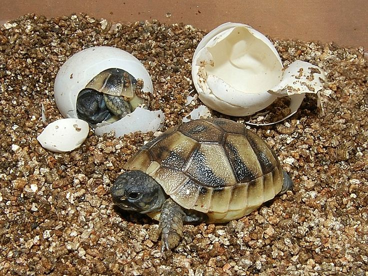 Hermans Tortoises for sale from The Turtle Source