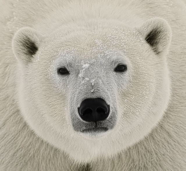 17 Best images about Polar Bears on Pinterest | Amigos ...