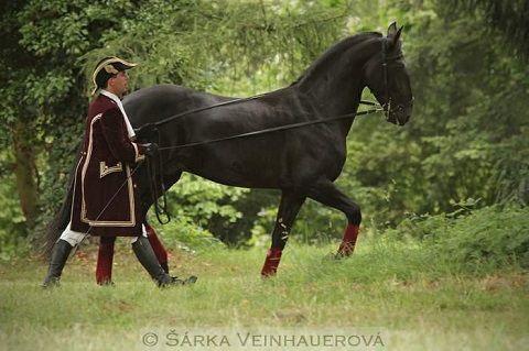 Čtyřnohá kulturní památka starokladrubský kůň