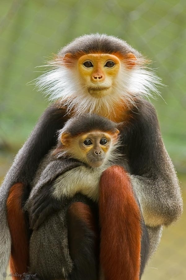 Red-shanked Douc (Monkey - a/k/a Douc Langur or Costumed Ape - Pygathrix nemaeus).            Douc Langur Monkeys - mother with her youngster.