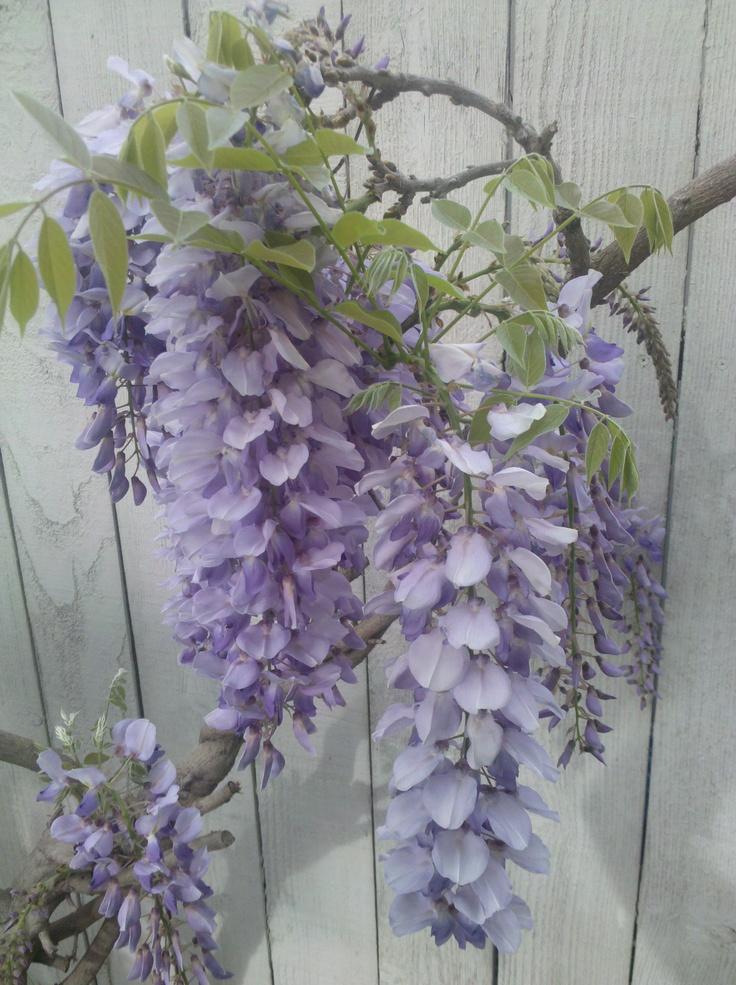 A closer shot of the Wisteria in bloom