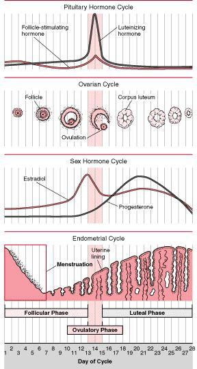 Diagram Of Pregnant Female Reproductive System Manual Guide