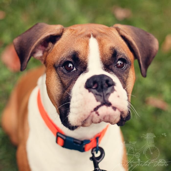 She sat still enough for me to take her photo.  Saying a lot for a Boxer dog!