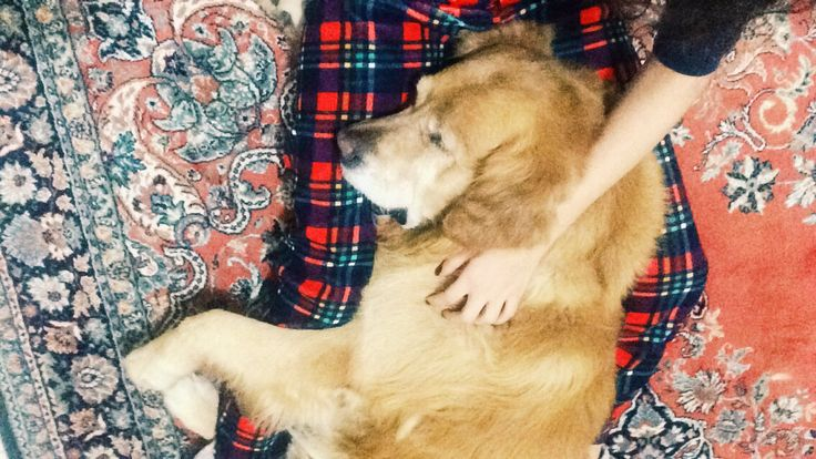 #goldenretiever #sleep