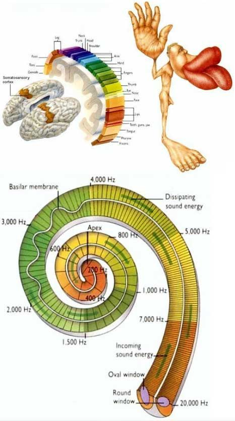 """World Mysteries - Cosmic Blueprints - Christine Sterne--"""" The illusiveness of material reality is the focus of the Upanishads[v]c.3, 000BCE.  [i] Not all the body parts receive the same attention of the brain. The relative importance is often represented by mapping over the length of the sensory or motor cortex. These cortical maps (Figure 22b) are not drawn to scale; instead they are variously distorted to reflect the amount the neural processing power devoted to different regions. This…"""