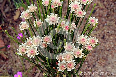 West Australian Native Wildflower Albany Daisy