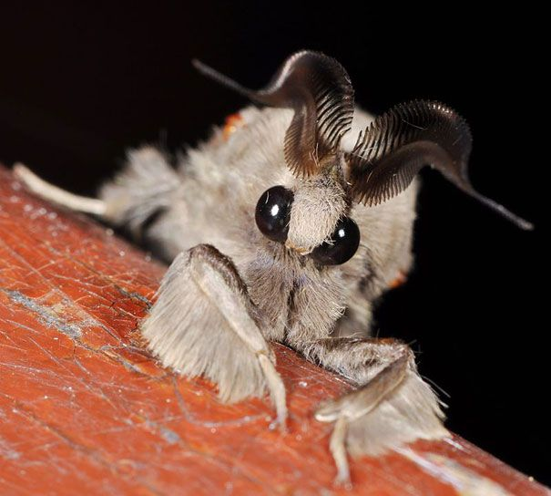 Venezuelan Poodle Moth | Discovered in Venezuela in 2009, this new species of alien-looking moth is still poorly explored. Waiting for more info about them! (Image credits: Arthur Anker