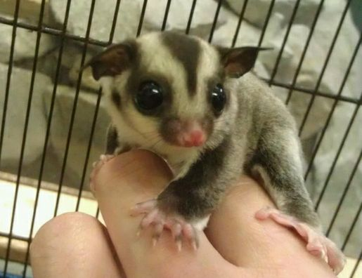 Sugar Glider.  my uncle used to have these and they are as soft and cute as they look!  love them!!