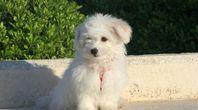 About Bichon Poodles   eHow