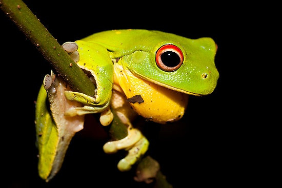 """""""Red-Eyed Tree Frog - Litoria chloris"""" by D Byrne 