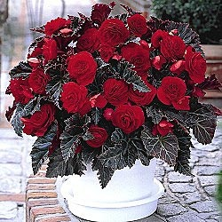 SWITZERLAND BEGONIA: The effect you get by adding this robust plant to your garden is nothing short of spectacular. Rich red, rose-like blooms are set against deep reddish-brown foliage which elicits oohs and aahs from everyone. Perfect for both containers and beds, these shade lovers provide a gorgeous display that looks great for months, summer to frost. Ships as 10-12 cm bulbs. Begonia 'Switzerland'    Zones: 3-10 (lift in fall in Zones 3-7)  Light: Partial Shade to Full Shade  Height…