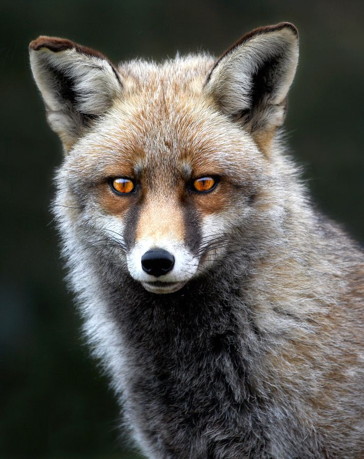"""Iberian Fox""=>"
