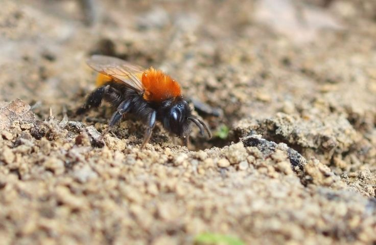 Tawny Mining Bee ( Andrena fulva ) this springtime flying bee with her fox coloured fur had just emerged from her nest entrance and was about to fly off to visit the many flowering spring flowers and fruit trees.
