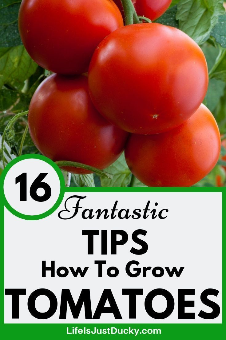 16 Top Secrets For Growing Great Tomatoes With Images Tomato