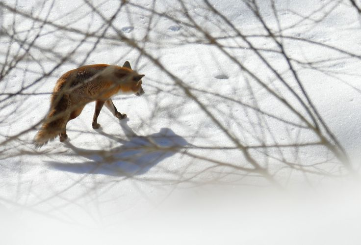 L'ombre et le renard glissaient sans bruit sur la neige. Mon appareil silencieux (Lumix FZ1000) n'a pas trahi ma présence. (Les Cluds, mars 2015)