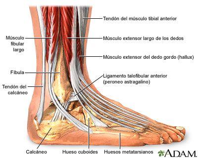 Anatomía del tobillo.  La Unidad Especializada en Ortopedia y Traumatologia www.unidadortopedia.com PBX: 6923370, Móvil: 314-2448344 Bogotá, Colombia