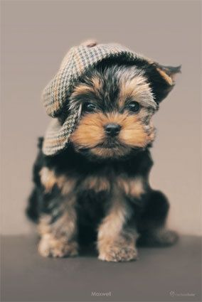 This Pin was discovered by Linda Beisaw. Discover (and save!) your own Pins on Pinterest.   See more about yorkie, puppies and sherlock.
