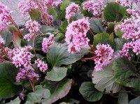 Schoenlappersplant of bergenia: ook mooi in de winter   Huis en Tuin: Tuin