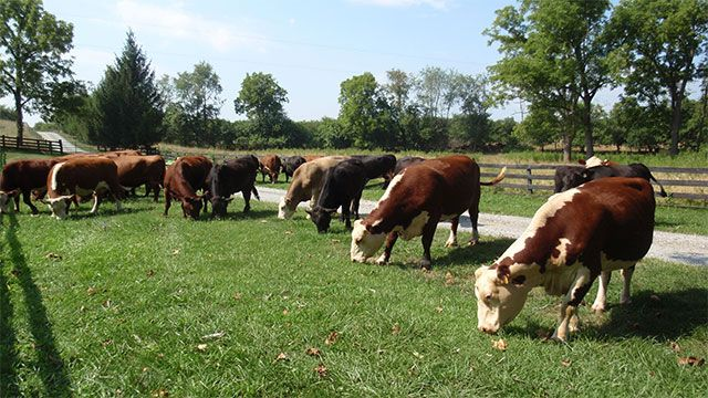 Cows all face the same direction when they eat Well actually they pick one of two directions, either north or south. Scientists are still not sure why.