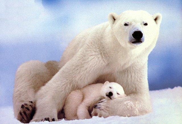 El oso polar es el carnívoro terrestre más grande de la Tierra. Suele pesar cerca de unos 500 kg., pero hay ejemplares que han alcanzado casi la tonelada. Acumula una cantidad de grasa tan grande en su cuerpo que puede estar varios meses sin comer. Un oso con mucha hambre es capaz de ingerir de una sola vez 60 kg. de comida  Cuando crían, las hembras excavan una galería de hielo de unos 15 metros y al final de ella hacen una habitación donde se refugian con sus cachorros.