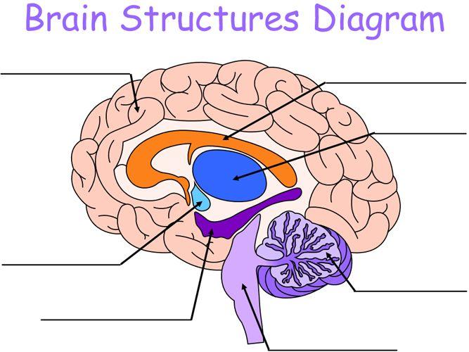 Brain Structures Diagram in 2020 | Brain structure, Brain ...