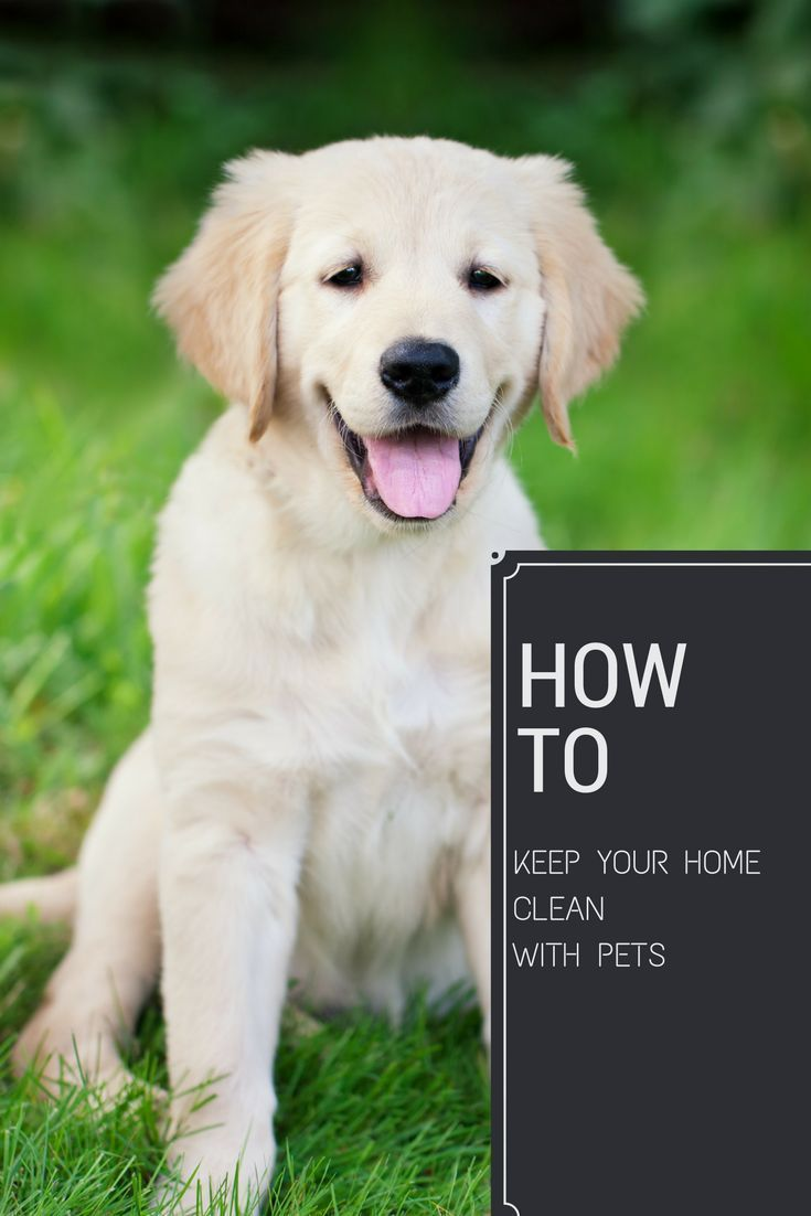 How To Keep Your Home Clean With Pets Golden Retriever