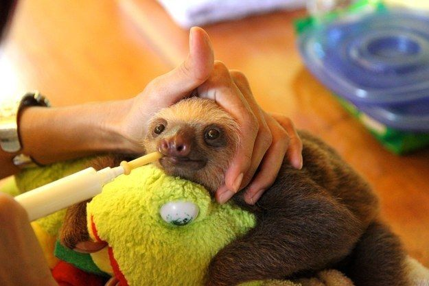 Or to feed a li'l baby sloth like this one. Look how happy! | 19 Signs That You And The BuzzFeed Animals Newsletter Were Meant To Be Together