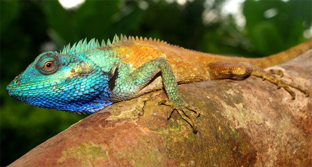 Calotes bachae is a beautiful blue lizard, approx 10cm in length, recently discovered in southern Vietnam a member of the 'forest dragons' and was recognized as distinct from a similar blue lizard via DNA barcoding.  During mating season, males display brilliant azure colors which they can change to better camouflage themselves. Photo by Peter Geissler #Lizard #C_bachae