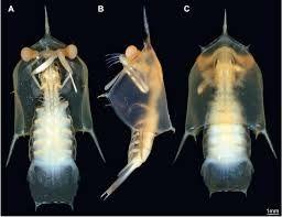 Larvas de tamarutaca. Crustacea - Classe Malacostraca, Subclasse Eumalacostraca (Ordem Stomatopoda)