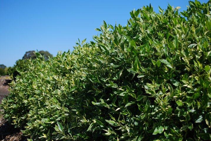 Goodenia Lightenup --- For more Australian native plants visit austraflora.com