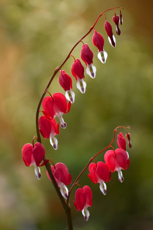 The glory and order of our God's creation... in love for us... Dicentra spectabilis [bleeding hearts]
