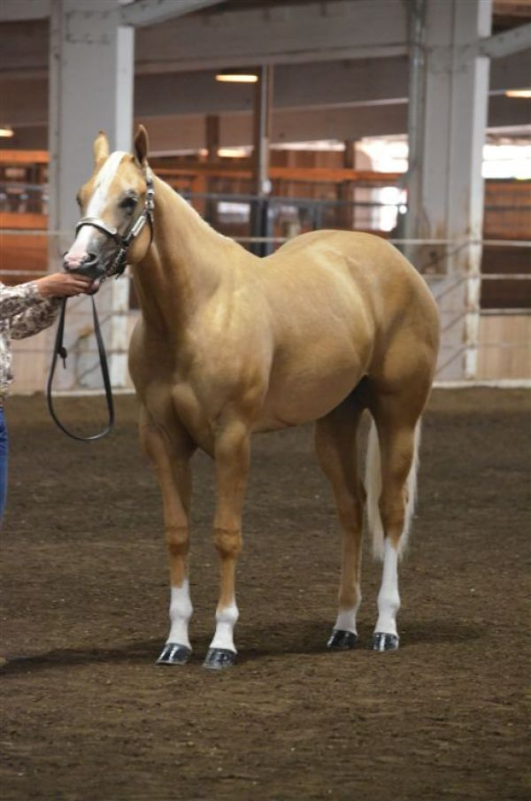 Palomino Quarter Horse Stallion