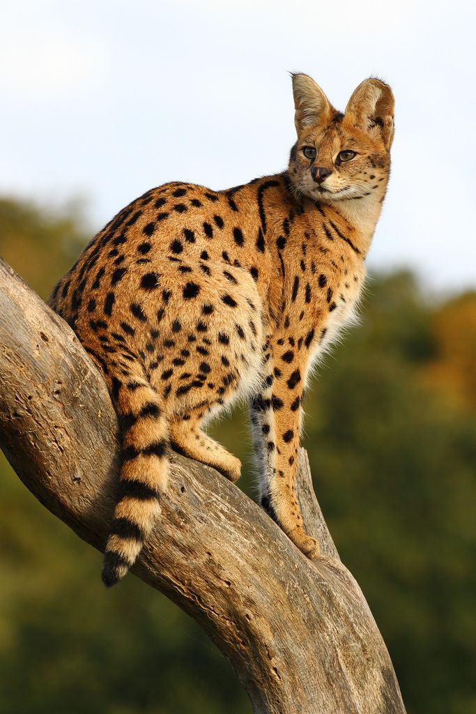 Gorgeous Serval. I would not recommend having a Serval as a pet but a Savannah F4 or lower. More cat like with markings.