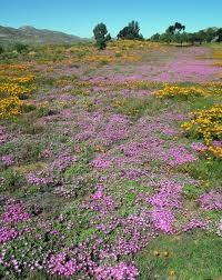 gorgeous South Africa - Namakwaland flowers after the rain