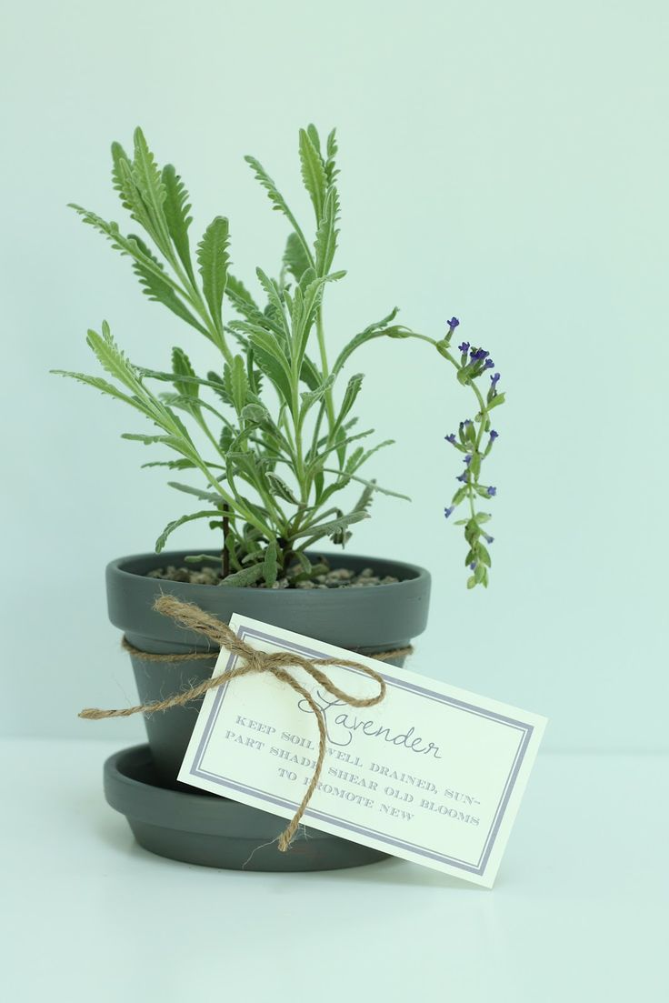 Entertaining, event planning and design that celebrates life: Gifts: Gifts Ideas, Printable Tags, Beautiful Pots, Diy Lavender, Lavender Pots, Free Printable, Lavender Gifts, Pots Lavender, Events Plans