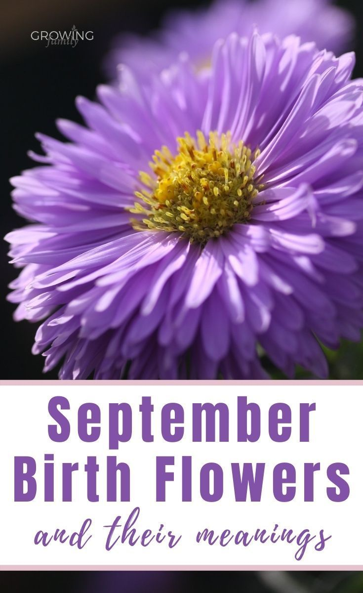 September Birth Flower Aster Morning Glory Growing Family In 2020 September Birth Flower Birth Flowers Birth Month Flowers
