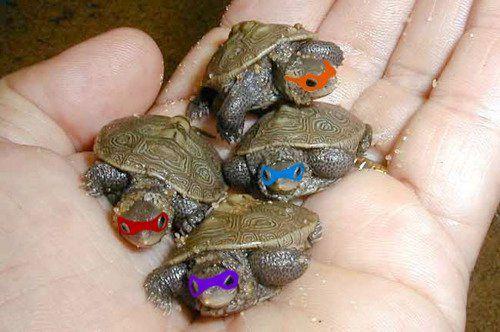 Cute Baby Turtles | Cute little baby turtles parodying Ninja Turtles cartoon characters ... BTMNT
