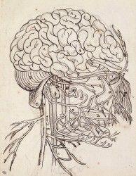 Cerveau, cervelet et nerfs crâniens de l'homme vus de côté (Le Brun Charles) - Muzeo.com