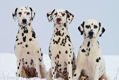 3 Dalmatian Free Stock Photos