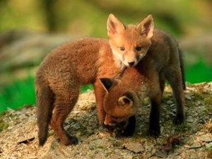 What do foxes eat? And more facts about foxes