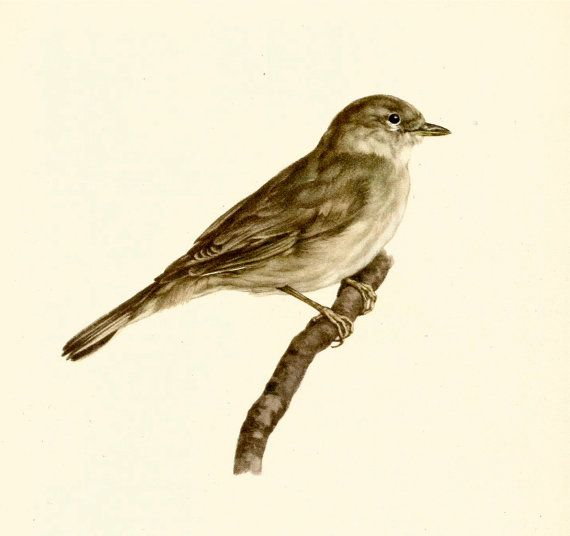 VINTAGE BIRD ILLUSTRATION Garden Warbler Bird Print Lodge and Country Home Decor Vintage Animal Wall Art (faf 41)
