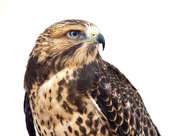 Swainson's Hawk . Bird of Prey Photography by CosmosCoolSupplies, $20.00