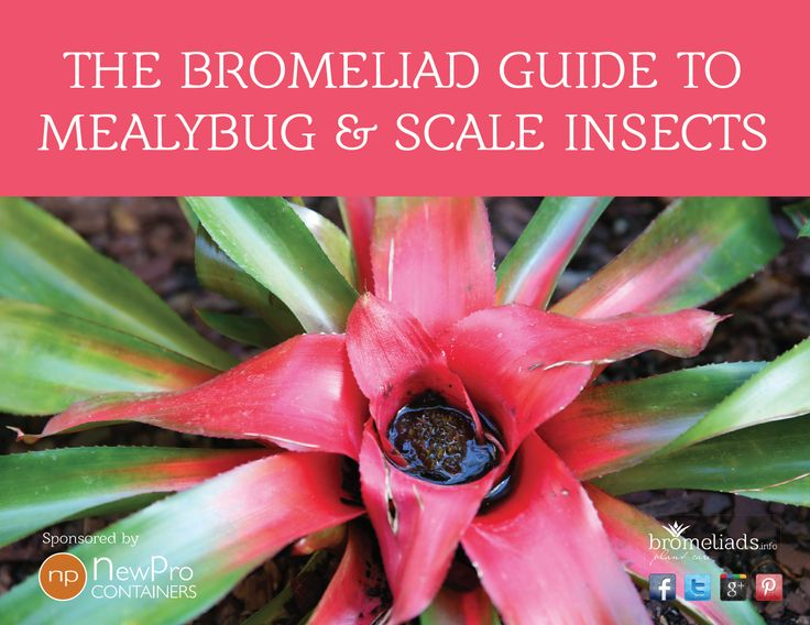 The Bromeliad Guide To Mealybug Amp Scale Insects