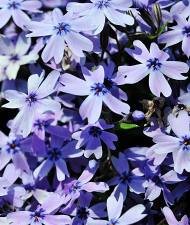 'Emerald Blue' moss phlox (Phlox subulata) - Full sun. Mat-forming habit. 4 to 6 inches tall; 24 inches wide. Hardy in Zones 3 through 9. Good spring and summer coverage; declines slightly in fall. Lavender-blue flowers in April and May. Native; evergreen