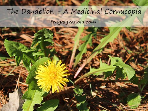dandelion proves to be a medicinal-cornucopia. who'd have thunk it?