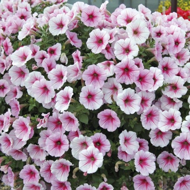 Riippupetunia 'Sunpleasure Patio Cherry Vein'